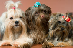 Three lap-dogs in studio Royalty Free Stock Photography
