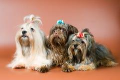 Three lap-dogs in studio Royalty Free Stock Photo