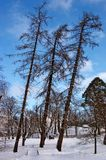 Three larches Royalty Free Stock Photo