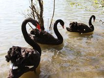 Three large Black Swans with thick plumage in the pond Royalty Free Stock Photography