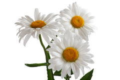 Three large daisies Stock Photography