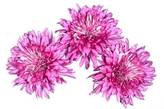 Three Large Double Pink Chrysanthemums on White Royalty Free Stock Photography