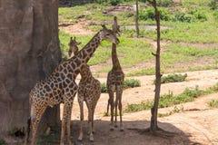 Three large giraffe bull Stock Photos