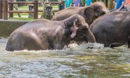 Three large gray elephants Stock Image