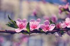 Three large pink flower on a branch. Three large pink flower on branch of peach, close up royalty free stock images