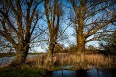 Three large poplar trees Stock Photography