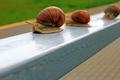 Three large snails walk the fence rail. Three large snails walk along the long railing of the fence in the city park, focus on the first snail stock images