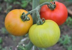 Three large tomatoes growing on the branch Royalty Free Stock Images