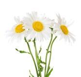 Three large white daisies Royalty Free Stock Photo