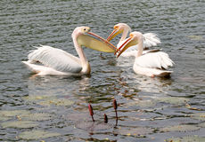 Three large white Pelican Stock Images