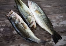 Three largemouth bass on a gray cuttingboard Royalty Free Stock Photos