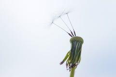 Three last seeds on white dandelion Royalty Free Stock Image