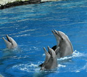 Three laughin dolphins. Taken in a dolphinarium at feed time Royalty Free Stock Image