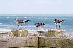 Three Laughing Gulls. Perched on the pier overlooking the beach Stock Image