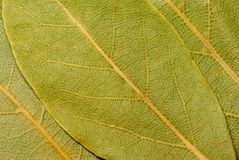 Three laurel leaves. Stock Images