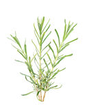 Three lavender branches. Isolated on a white background Royalty Free Stock Photos