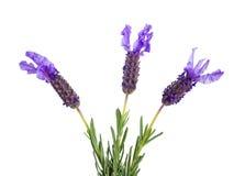 Three lavender flowers Royalty Free Stock Photo