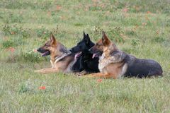 Three laying German shepherds Royalty Free Stock Photography