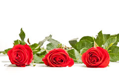 Three laying roses Stock Photo