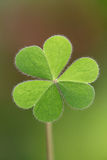 Three leaf clover Stock Photos