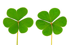 Three Leaf Clover Royalty Free Stock Photography