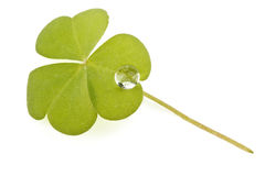 Three leaf clover Royalty Free Stock Photo