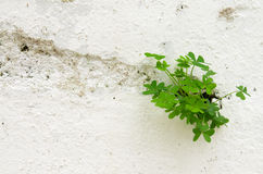 Three leaf clover breaking through a wall Stock Photos