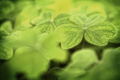 Three  leaf clover in a clover patch. Single leaf clover in a clover patch Stock Image