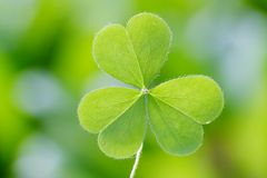 Three leaf clover stock photography