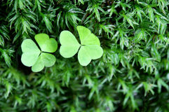 Three Leaf Clover Macro in a Bed of Wet Moss Horiz. Horizontal macro view of two clover leaves surrounded by a bed of wet moss.  Great for St. Patrick's Day Royalty Free Stock Photo