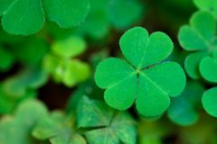 Three leaf clover in the nature - Symbol of luck. A single Three leaf clover in the nature - Symbol of luck royalty free stock photo