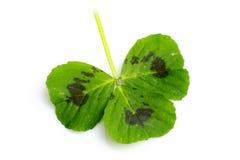 Three leaf clover Stock Photos