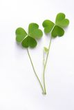 Three leaf clover on white Royalty Free Stock Photography