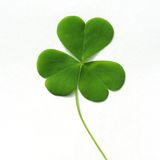 Three leaf clover  on white Stock Image