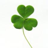 Three leaf clover on white stock image