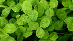 Three leaf clovers Royalty Free Stock Photos
