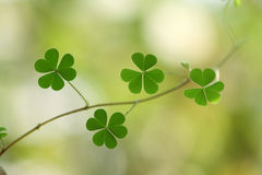 Three leaf clovers Royalty Free Stock Images