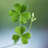 Three leaf clovers Stock Photos