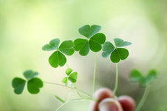 Three leaf clovers Stock Photography