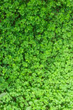 Three Leaf Clovers Stock Photo