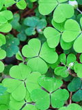 Three leaf clovers Stock Images
