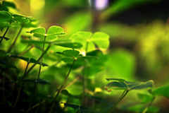 Three leaf clovers in forest Stock Photo