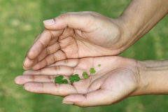 Three leaf clovers in hand Stock Images