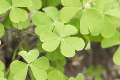 Three leaf clovers Oxalis acetosella - Close up fresh leaves. Three leaf clovers Oxalis acetosella - Close up fresh leaves stock photography