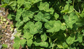 Three-Leaf Clovers. Top view of three-leaf clovers growing on the ground Royalty Free Stock Photos