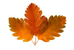 Three leaf of a rowan-tree royalty free stock images