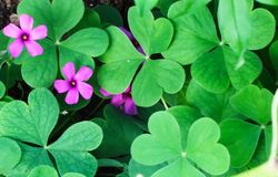 Three leaf shamrock stock image