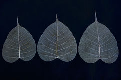Three leaf veins of banyan tree. Details on blackground Stock Photo
