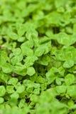 Three leafed shamrocks. Close up of carpet of shamrocks or clovers, symbol of good luck stock photo