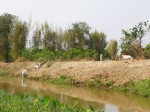Three lean healthy cows laying and wandering on the bank of an irrigation canal in rural area. Three lean healthy cows laying and standing on the bank of an Stock Image